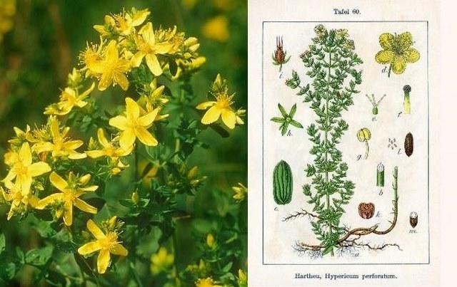 tinh chất nanomax từ hoa Cúc Ban Âu