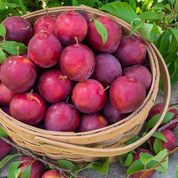 Mận cũng nằm trong danh sách các loại rau quả giúp giảm mỡ bụng