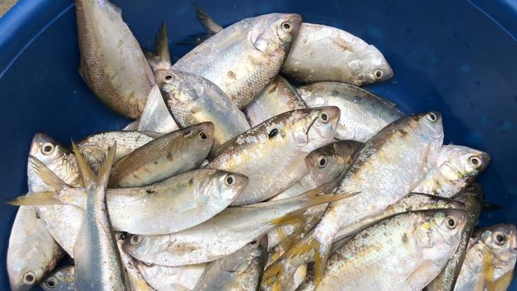 Cá mòi chứa một hàm lượng dinh dưỡng lớn chứa 10% nhu cầu hàng ngày